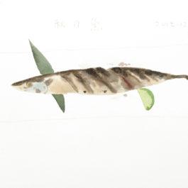 王玉平,秋刀魚,2012,水彩/紙,23 × 31 cm